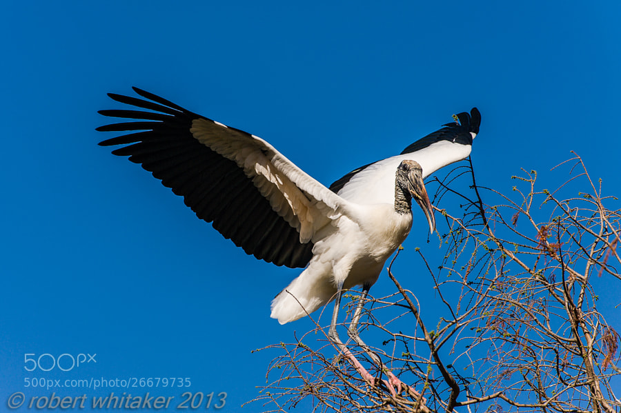 Wood Stork taking flight.