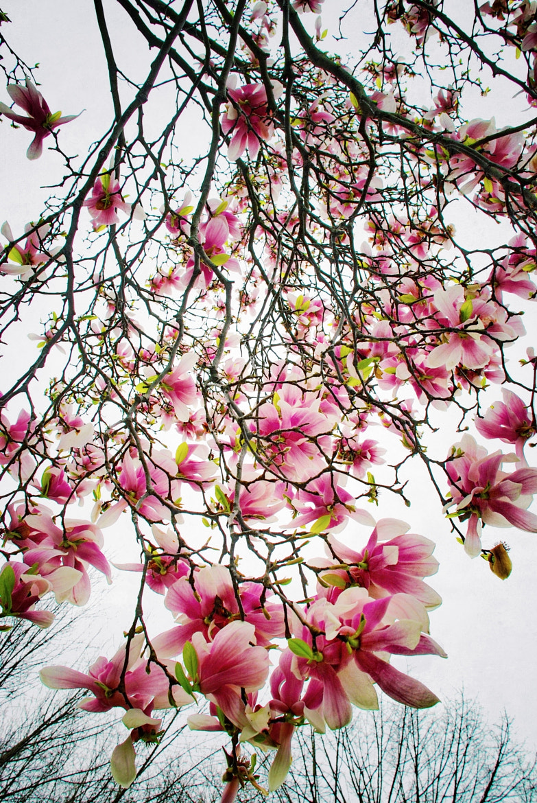 Photograph Magnolia by Greg Hudson on 500px