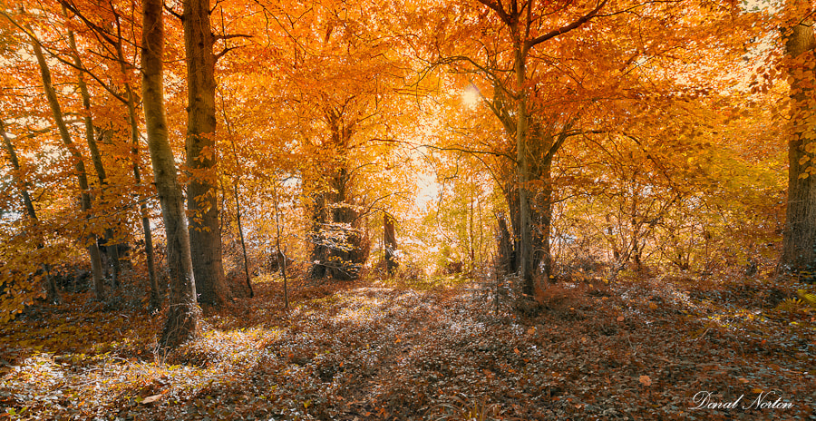 Photograph Autumn Forest in Ireland by Donal Norton on 500px