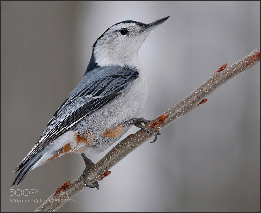 Photograph Nuthatch by Olga Titova on 500px