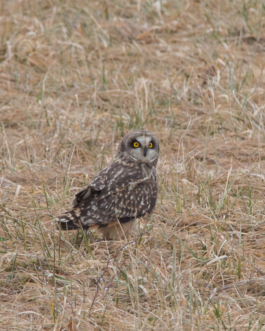 Photograph Short Eared Owl by Steven Kersting on 500px