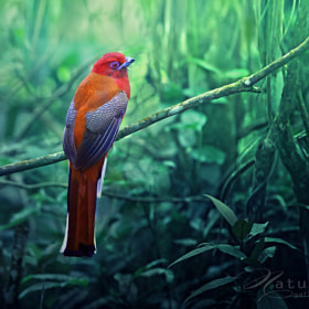 Red-headed Trogon by Sasi - smit (OF-PSD)) on 500px.com