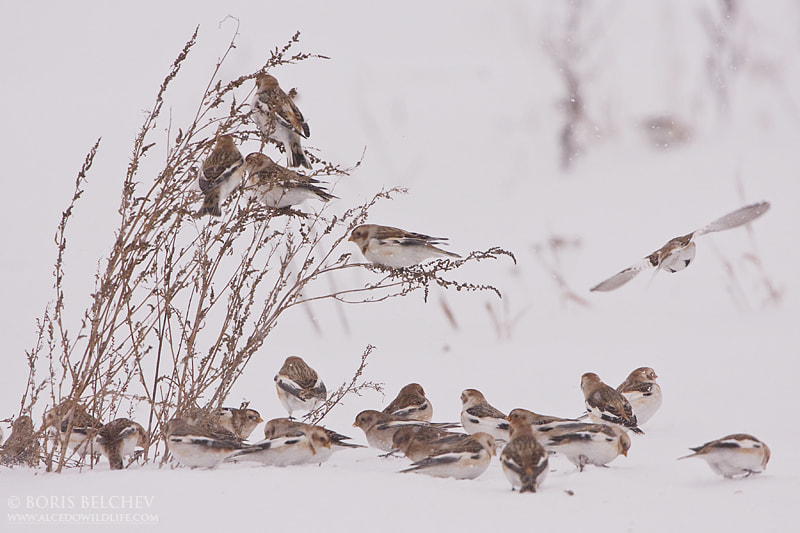 Photograph Snow Buntings in the storm by Boris Belchev on 500px
