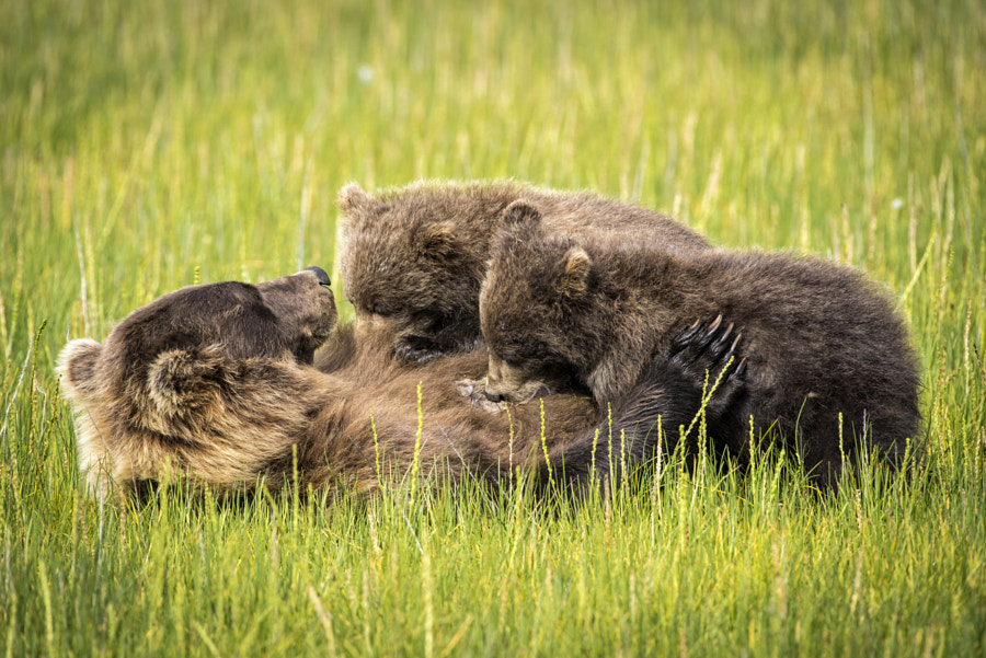 Nursing Bear Cubs by JDay Photography on 500px.com