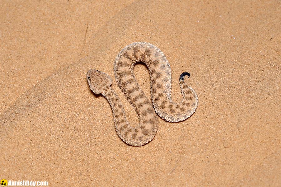 Sahara sand viper by AimishBoy (Nadav Bagim) on 500px.com