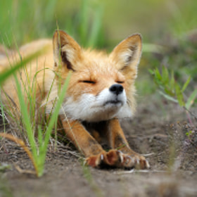 Stretching fox.