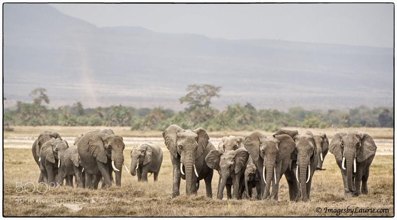 African Elephants (Amboseli National Park, Kenya)