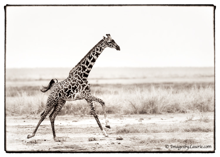 (Amboseli National Park, Kenya