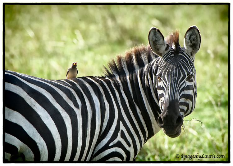 Oxpecker with Zebra