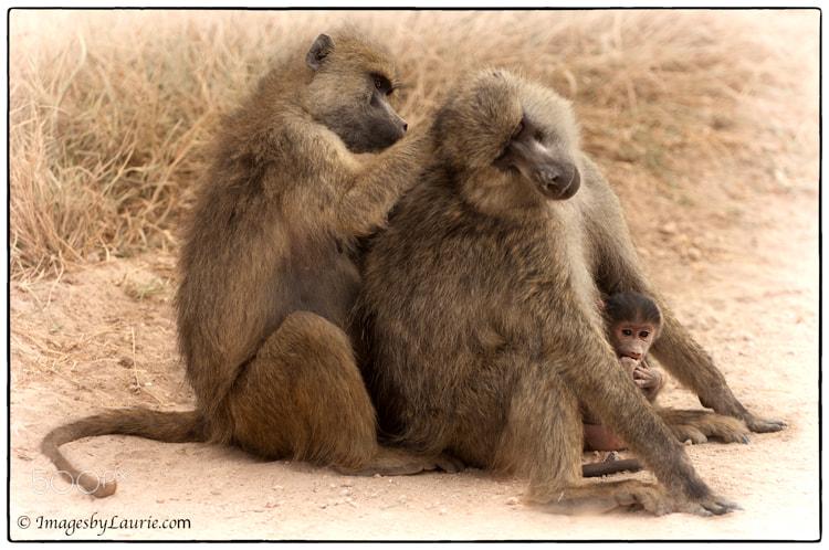 (Baboon family in Amboseli National Park, Kenya)