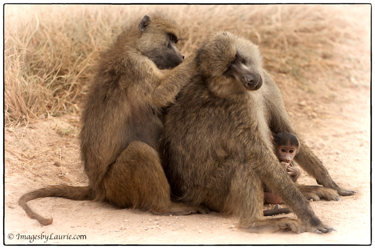 (Baboon family in Amboseli National Park, Kenya)