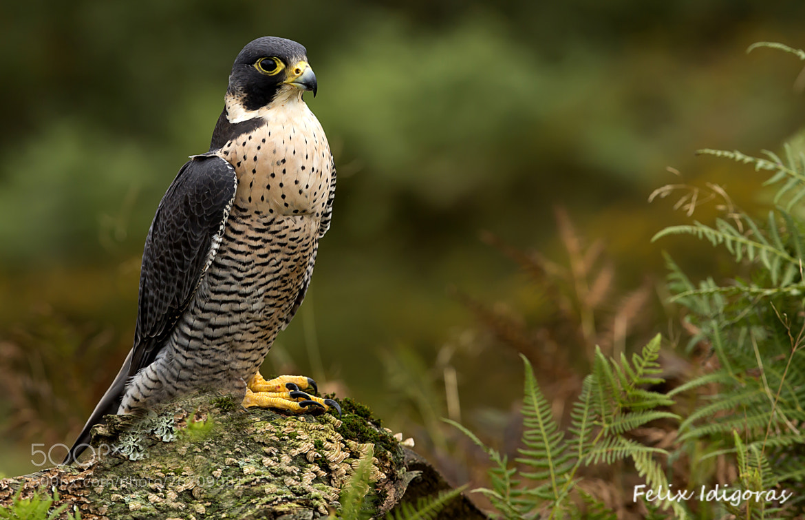 Photograph Halcon peregrino by Felix Idigoras on 500px