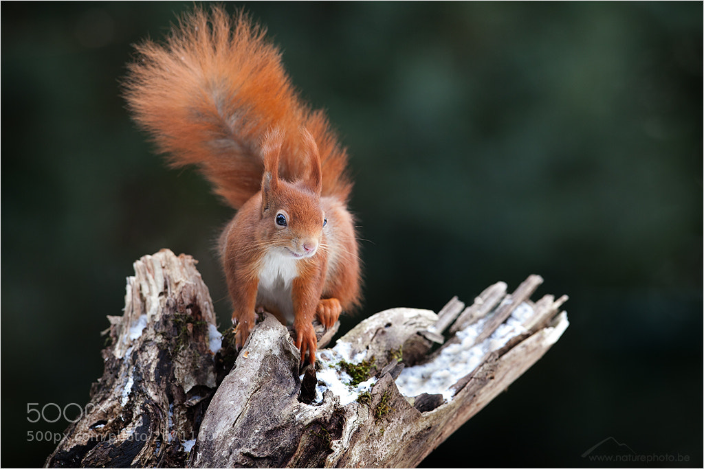 Photograph Red Squirel by Monique Bogaerts on 500px