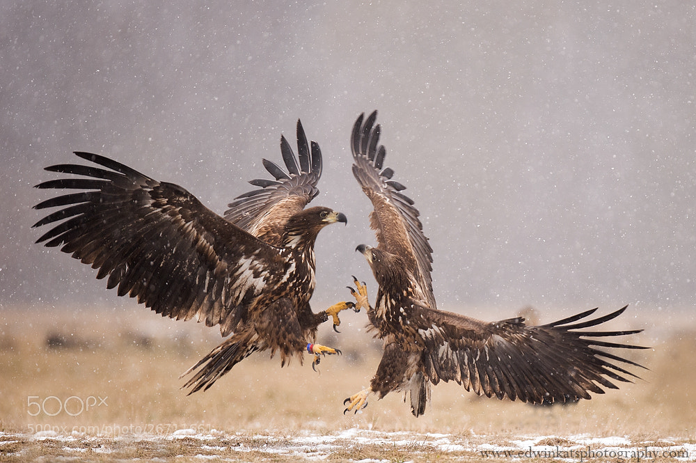 Photograph Eagle action..... by Edwin Kats on 500px