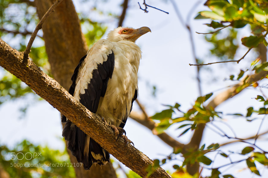 Palm nut vulture in a tree - Guinea Bissau  Unusual for Birds of Prey, the Palm nut vulture (gypohierax angolensis) feeds mainly on the fruit of the oil-palm though it also feeds on crabs, molluscs, locusts, fish and has been known to occasionally attack domestic poultry.