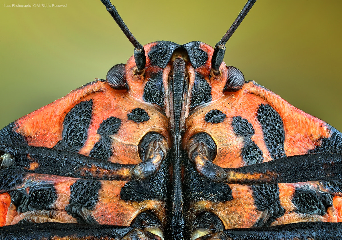 Photograph Graphosoma lineatum. by ireneusz irass walędzik on 500px