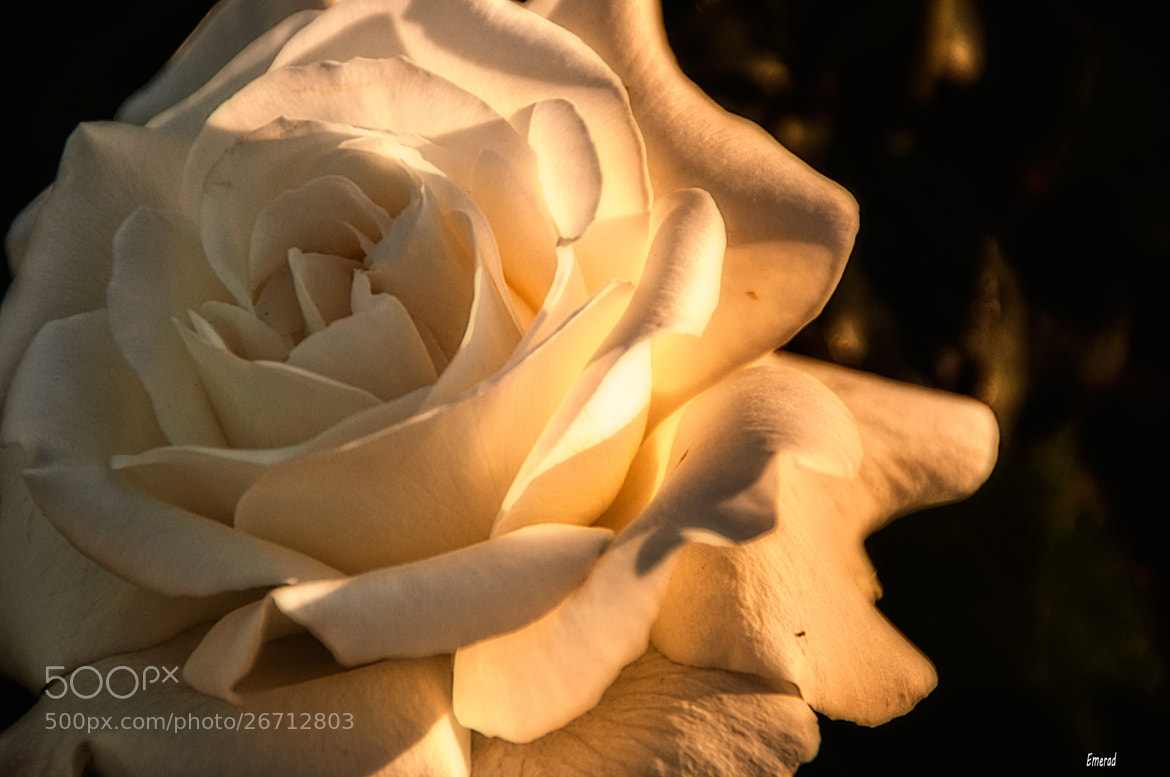 Photograph White Rose by Emilio Cabida on 500px