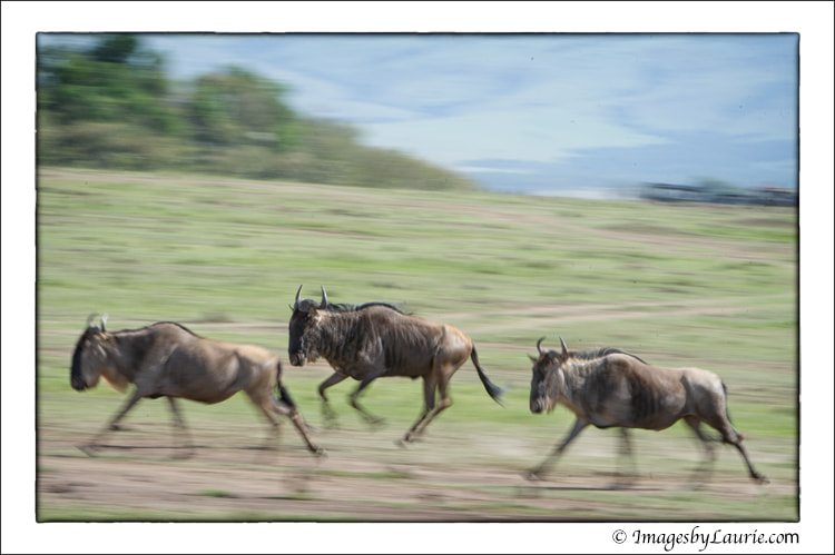 Photograph Wildebeest on the Run by Laurie Rubin on 500px