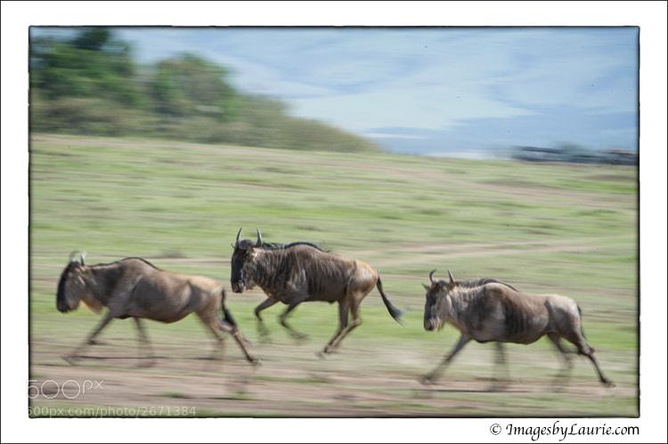 (Maasai Mara National Reserve, Kenya)