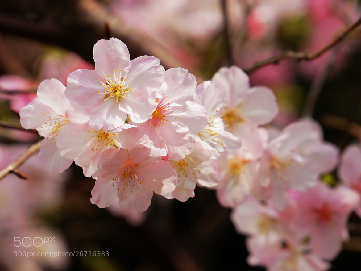 Photograph Japanese Flowering Cherry by liou han-lin on 500px