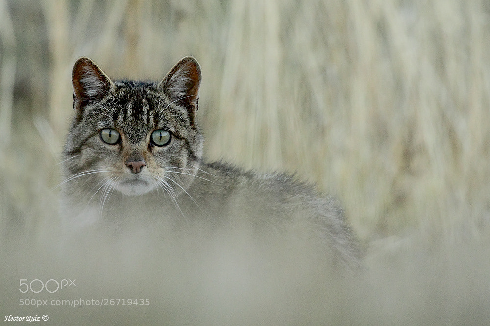 Photograph Wildcat by Héctor Ruiz Villar on 500px