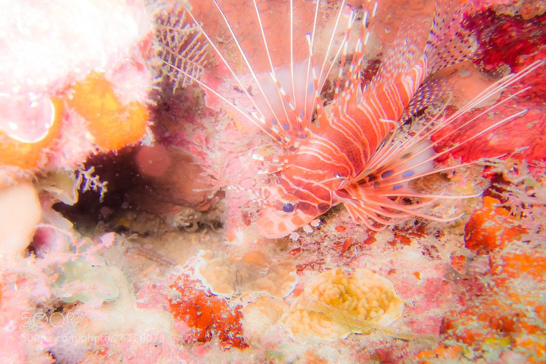 Photograph Girlly Lion Fish by Yamaoka Chiko on 500px