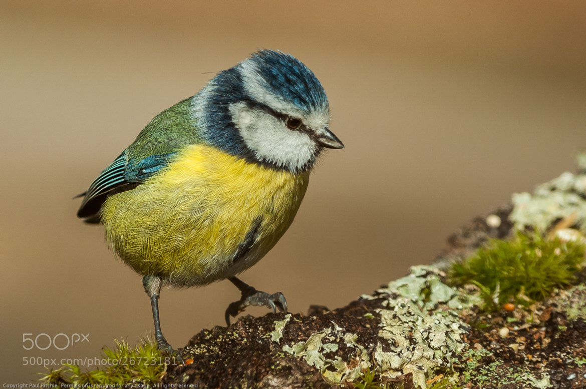 Photograph Blue Tit (Cyanistis caeruleus) by Paul Ritchie on 500px