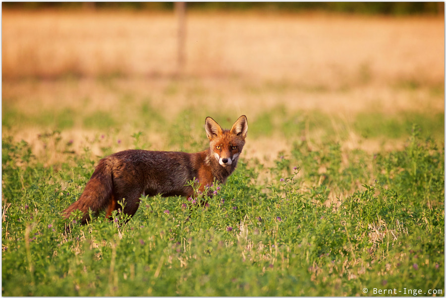Red fox / Rød rev by Bernt-Inge Madsen on 500px.com