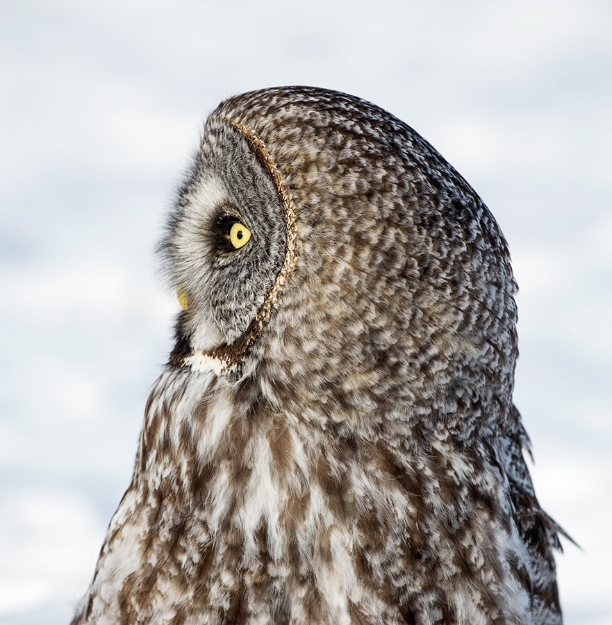 Photograph Profile Of The Great Gray Owl by Judylynn Malloch on 500px