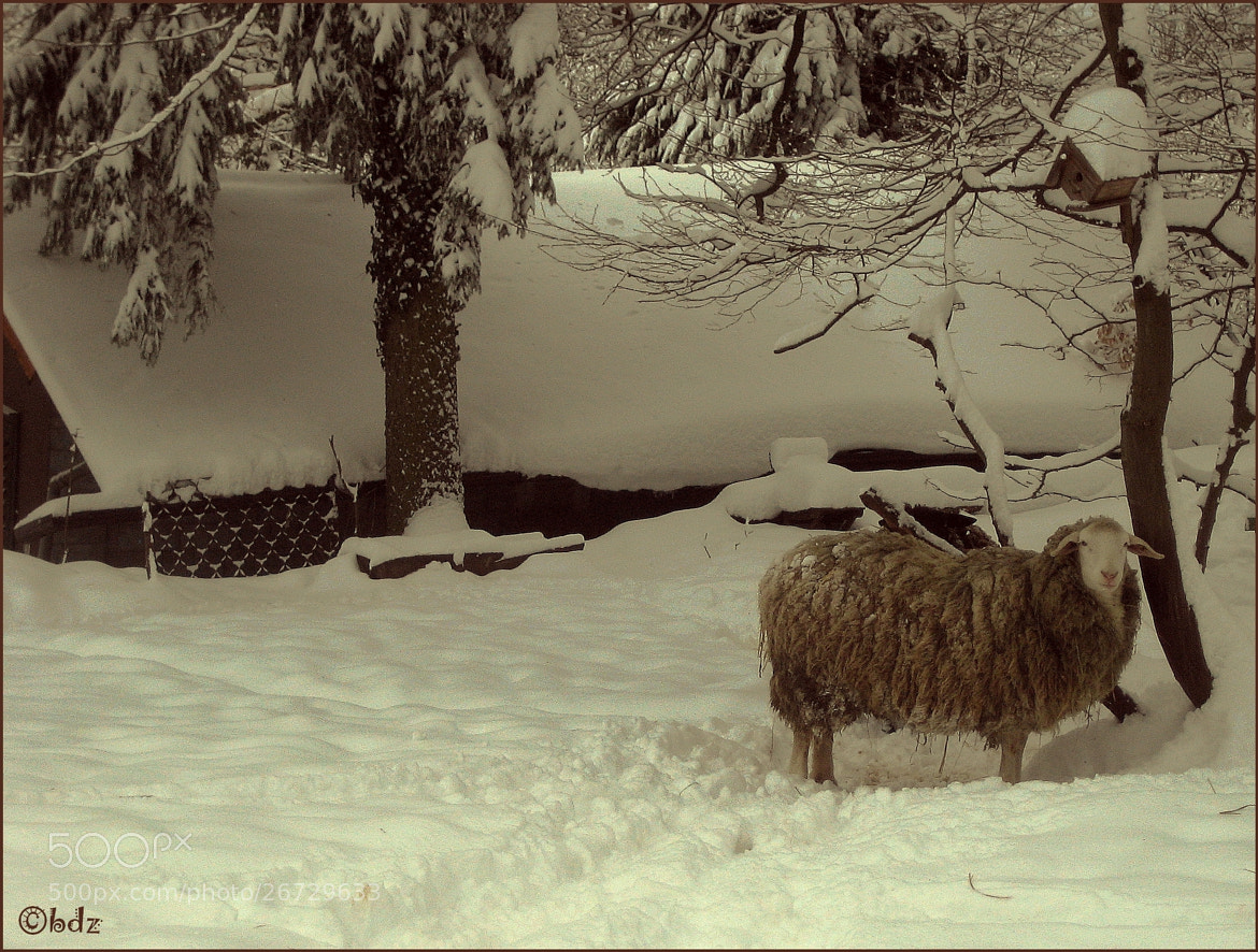 Photograph snow sheep by Betty Ditscheid on 500px