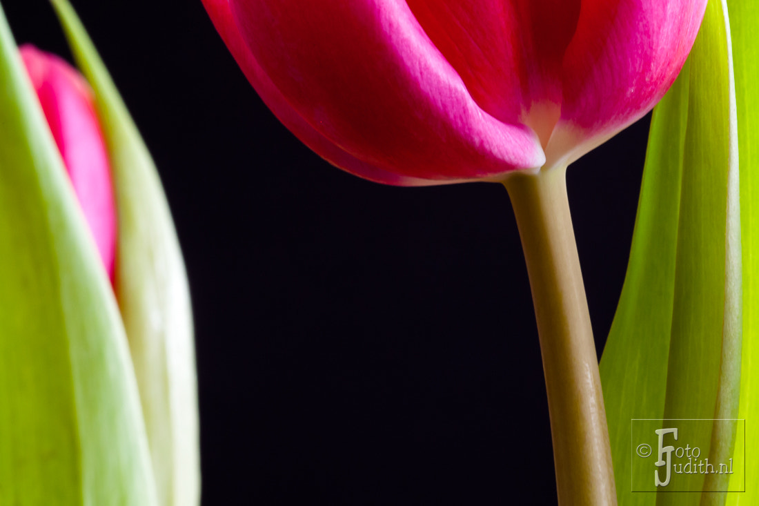 Photograph Pink Tulips by Judith Borremans on 500px
