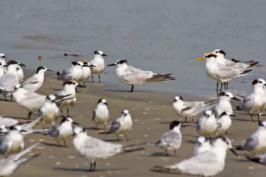 Flock of various species of terns (Royal Terns with the yellow bills) on the sea shore - Guinea Bissau, Africa.  The Royal Tern (Thalasseus maximus albididorsalis ) lives on the coast of West Africa and is only found where there is salt water, they do not live where there is fresh water. They tend to feed near the shore, close to the beach or in backwater bays.