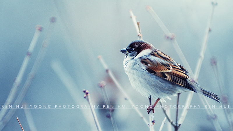 Photograph Winter Sparrow I by Ren Hui Yoong on 500px