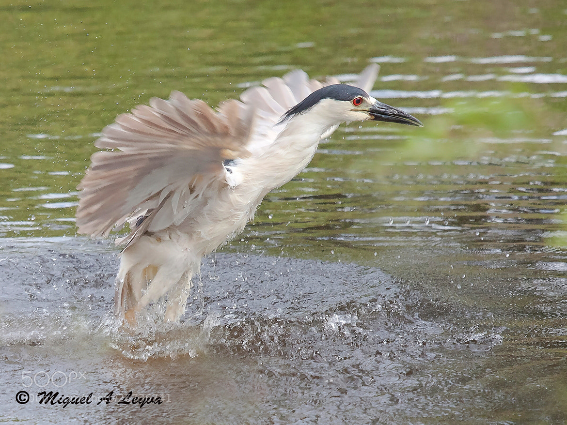 Photograph Night Heron Taking Off Without Fish by Miguel Angel Leyva on 500px