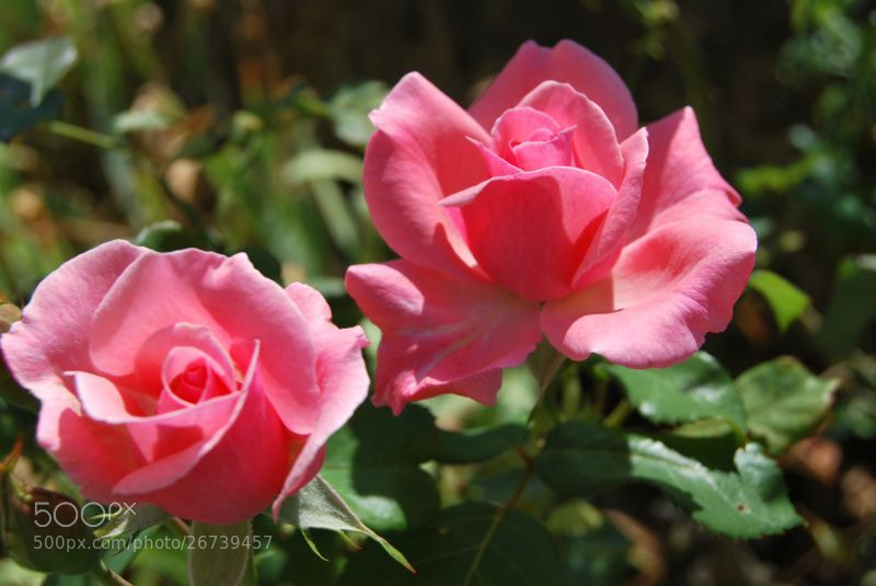 Photograph Flores rosas. by Naaxii Photos. on 500px