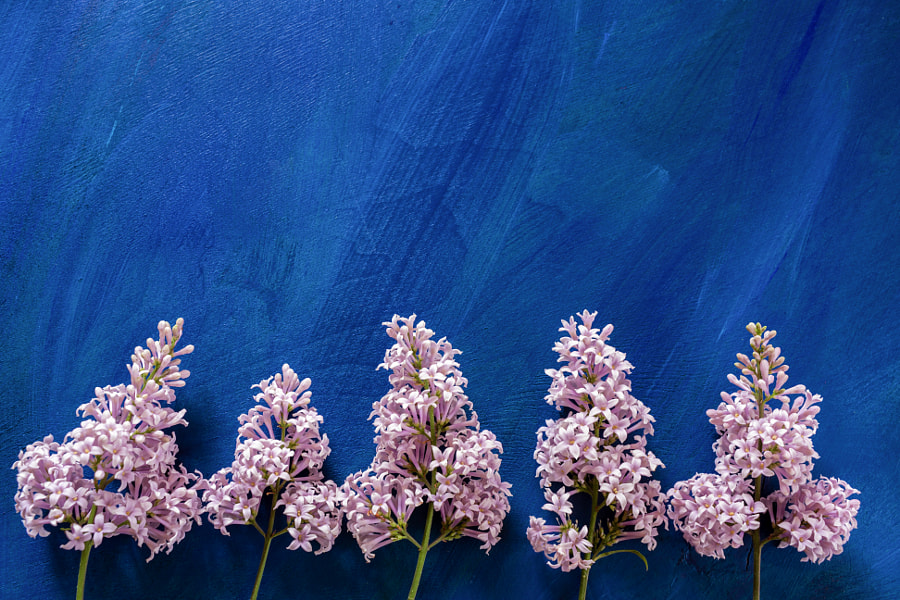Painted blue background with blooming lilac branches at the bottom and with copy space. by Natalia Semkina on 500px.com