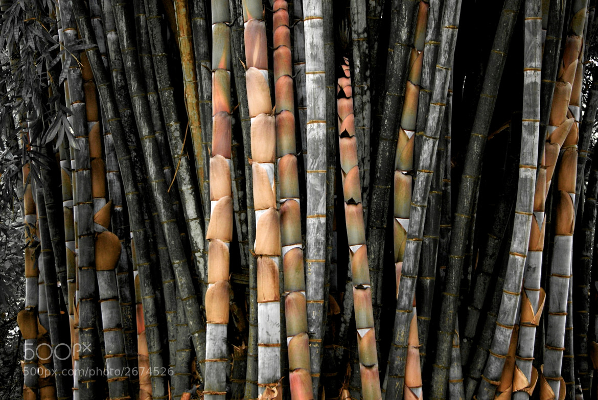 Photograph KinG BamBoO by ViShWa  on 500px