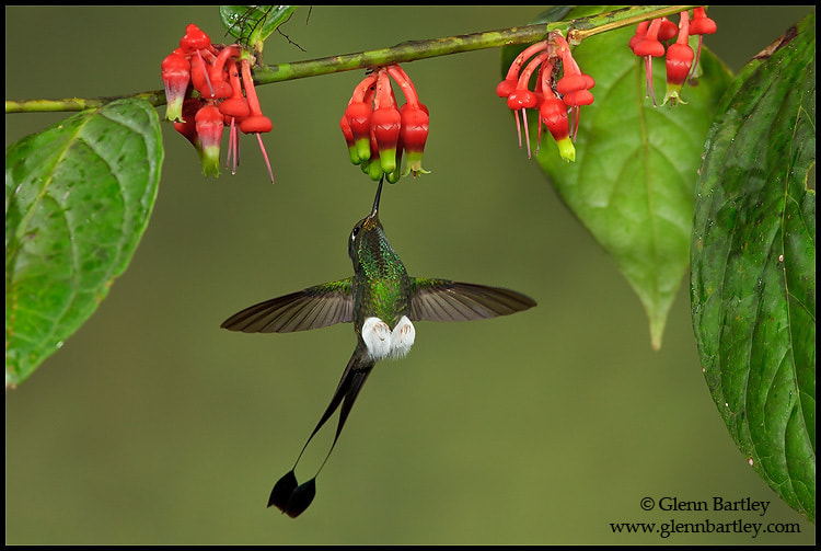 Photograph Booted Racket-tail hummingbird (Ocreatus underwoodii) by Glenn Bartley on 500px