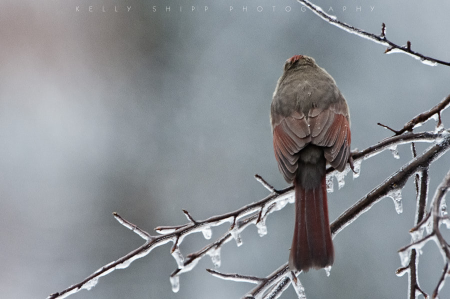 """Photograph """"A Moment of Silence"""", with a female cardinal by Kelly Shipp on 500px"""