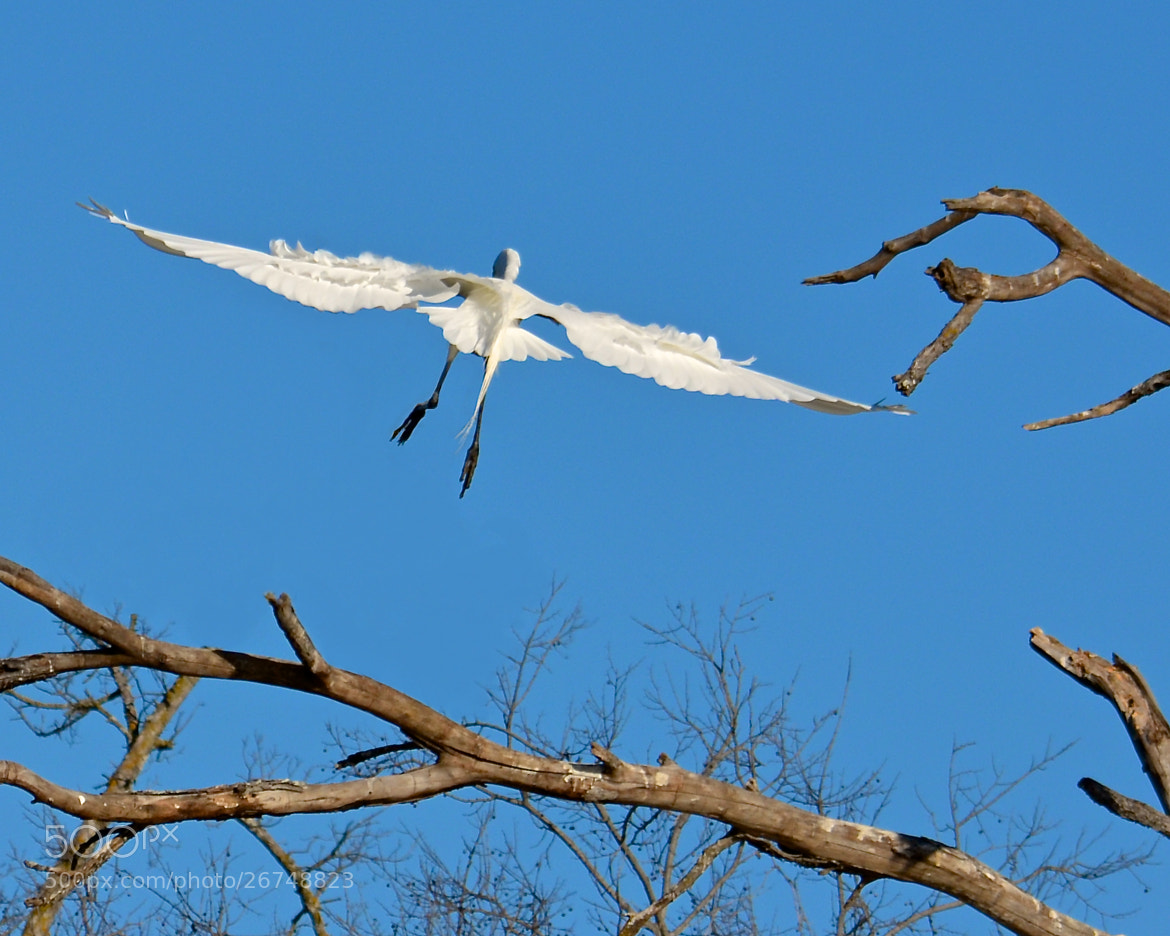 Photograph Egret Coming In For a Landing by Steven Bach on 500px