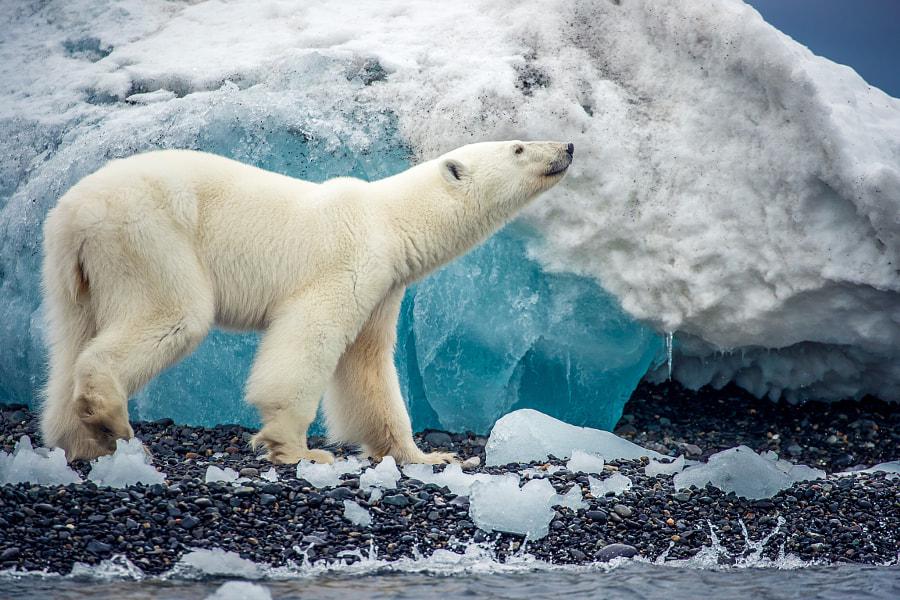 Polarbear by Sascha Feuster on 500px.com