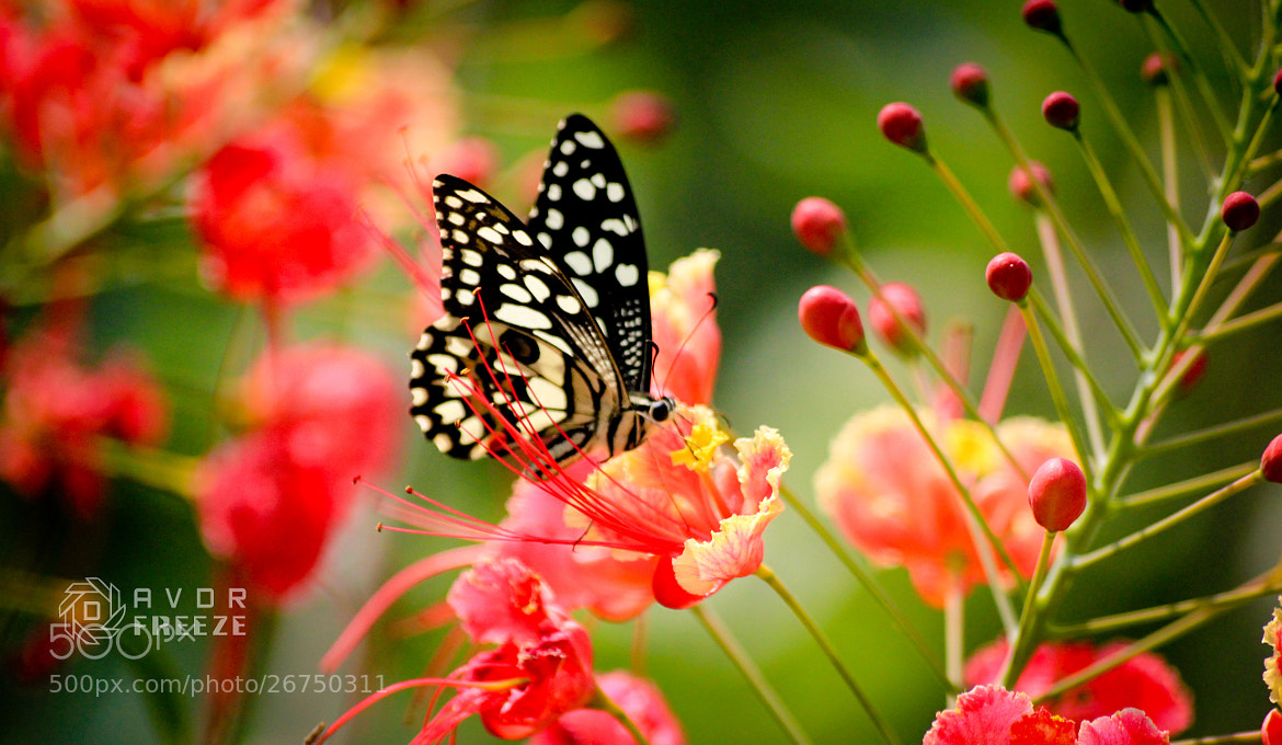 Photograph BUTTER FLY  by Dinesh Ɍajasekaɤ on 500px