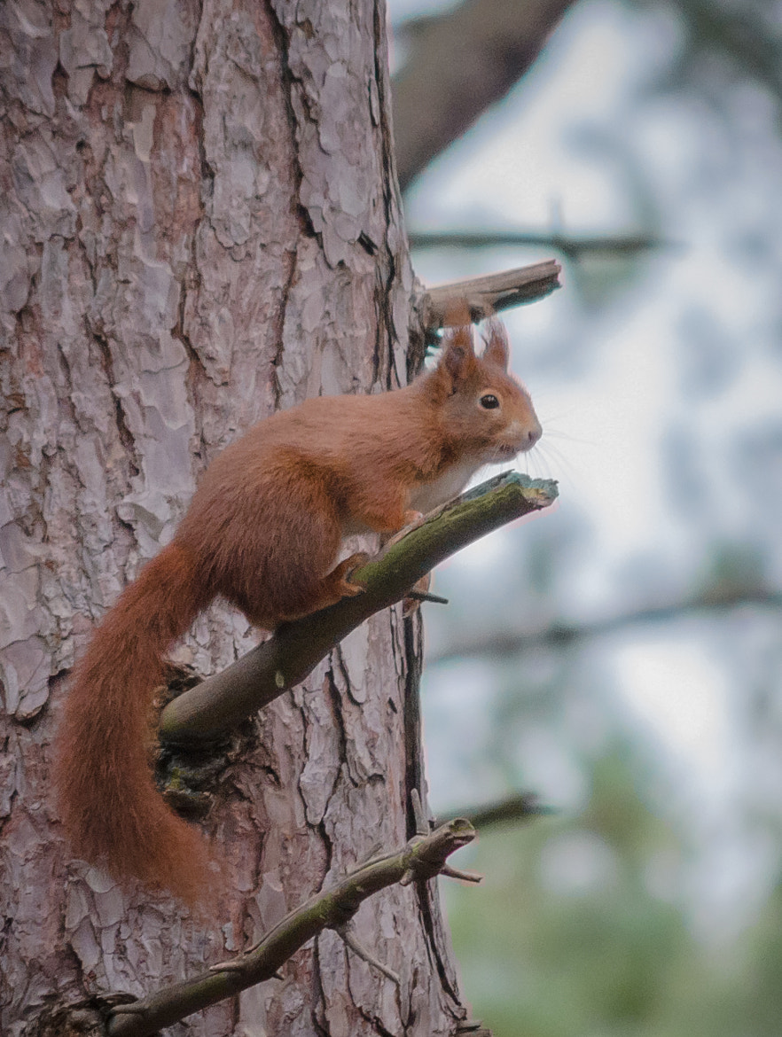 Photograph Red Squirrel - Lookout by Allan Hamer on 500px