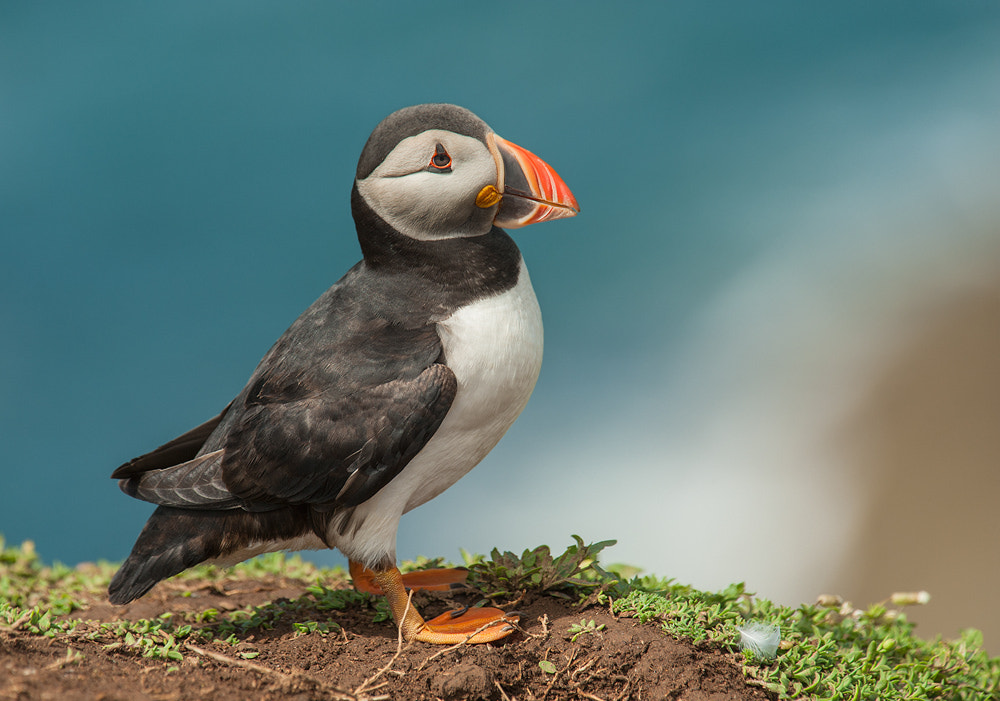 Photograph Puffin with feather by Geoffrey Baker on 500px