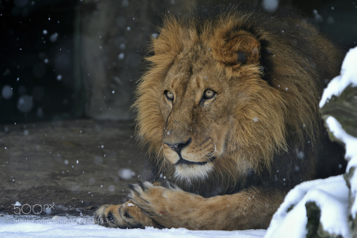 Photograph Snow Lion by Josef Gelernter on 500px