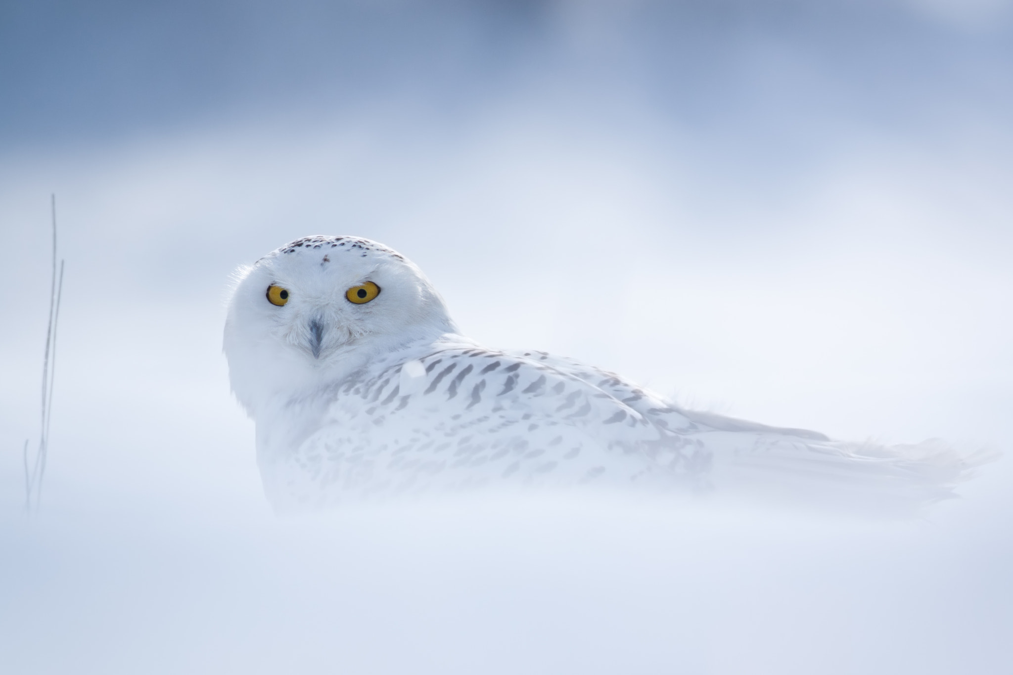 Photograph Snowy owl by Vlado Kucharovic on 500px