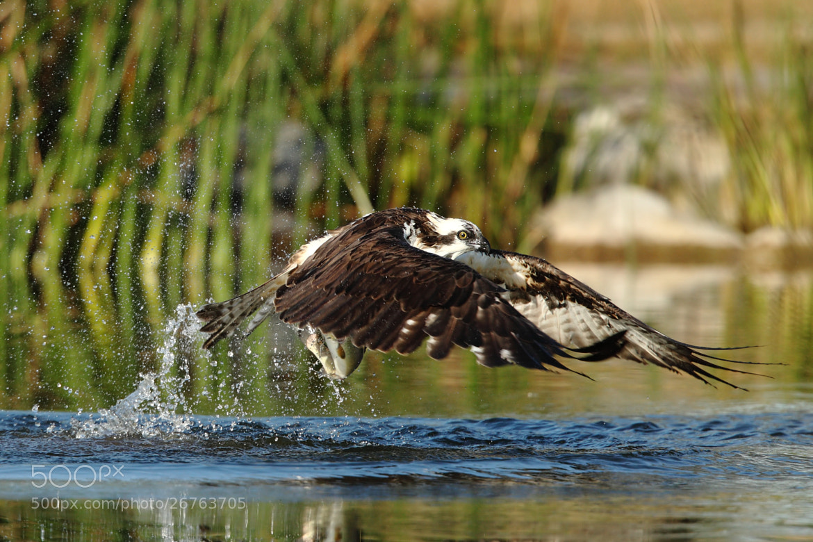 Photograph Osprey and trout by Chim Co on 500px