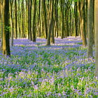 A carpet of Bluebells in the early morning Sun.