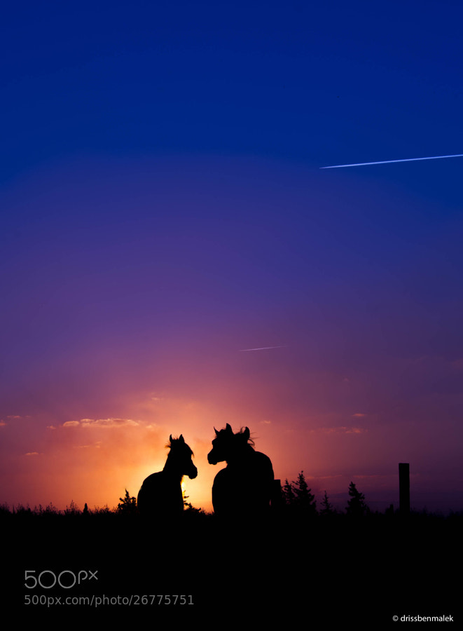 Sunset; Arabian Horses