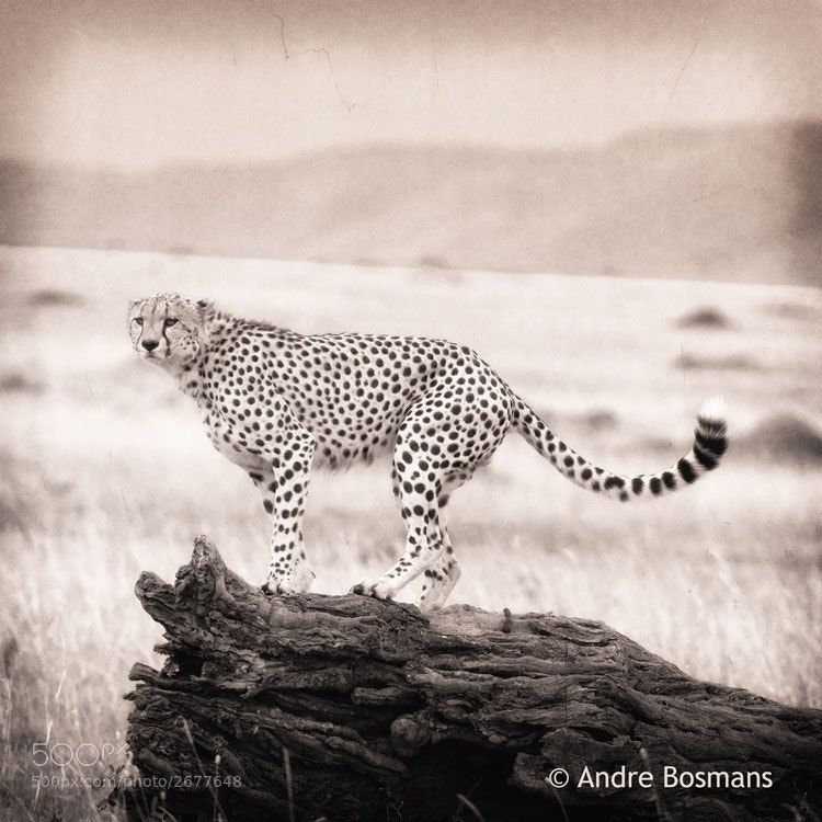 Photograph Cheetah on dead trunk by Andre Bosmans on 500px